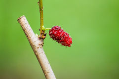 Mulberry tree. The red mulberry tree in the garden Stock Images