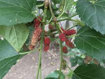 Mulberry tree. With ripe mulberry fruit royalty free stock photos