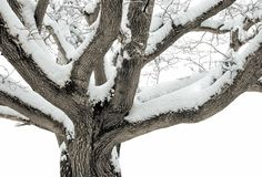 Mulberry tree in the snow Royalty Free Stock Photo