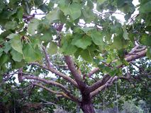 Mulberry tree holding a swing. Mulberry tree in Spain holding a swing. Large leaves. Lots of branchs. Holding a swing. Mediterranean climate. Summer stock photo
