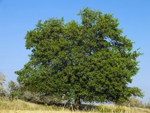 Mulberry tree in steppe. Beautiful single mulberry tree in steppe near Kherson, Ukraine stock photo