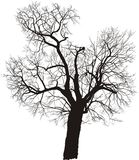 Mulberry tree, vector. Silhouette of a deciduous tree, mulberry, vector illustration Royalty Free Stock Image