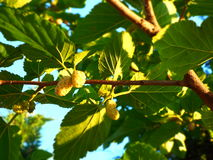 Mulberry tree. Very beautiful Royalty Free Stock Image
