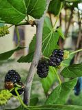 Mulberry Tree. White black nature stock photos