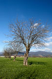 Mulberry trees. Paderno (Bs),franciacorta,Lombardy,Italy,mulberry trees in a field Royalty Free Stock Photography