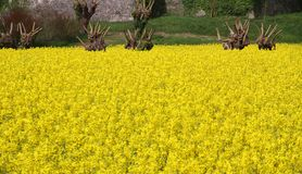 Mulberry trees and yellow flower field of rapeseed for oil produ Royalty Free Stock Photography