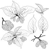 Mulberry vector Stock Photography