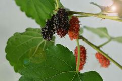Mulberry. Waiting for harvest Royalty Free Stock Images