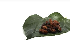 Mulberry fruit - On white background - Food Fruit - for health as a medicinal herb - Raising worms to produce silk.
