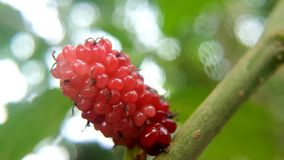 Mulbery red berries with sour taste stock images