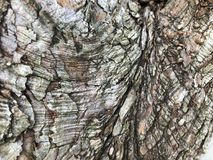 Textured bark of a Dawn Redwood tree. Mulch-colored bark of a Dawn Redwood tree & x28;Metasequoia Glyptostroboides& x29;.  This is a cypress tree from Central Royalty Free Stock Image