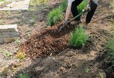 Mulch de bifurcação do jardineiro Imagem de Stock
