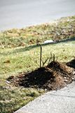 Mulched Roses. Rose plants with mounded mulch in preparation for winter Stock Photos