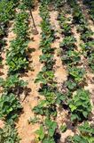 Mulching the fillet of the intermediate row of strawberries. Mulching with the fillet of the intermediate row of strawberries to protect the soil from drying out Royalty Free Stock Image
