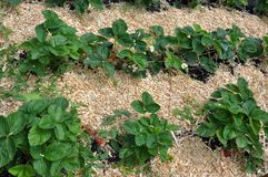 Mulching the fillet of the intermediate row of strawberries. Mulching with the fillet of the intermediate row of strawberries to protect the soil from drying out Royalty Free Stock Photo