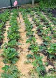 Mulching the fillet of the intermediate row of strawberries. Mulching with the fillet of the intermediate row of strawberries to protect the soil from drying out Royalty Free Stock Photos