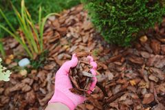 Mulching garden beds with pine bark. Pieces Stock Images