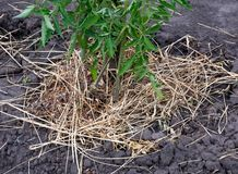 Mulching pomidorowego krzaka z sianem i suchą trawą zdjęcia royalty free