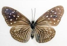 Mulciber blu a strisce di Euploea della farfalla del corvo Immagini Stock Libere da Diritti