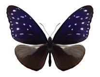 Mulciber de Euploea da borboleta imagens de stock