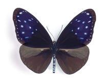 Mulciber do mulciber de Euploea (macho) Imagens de Stock Royalty Free