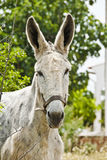 Mule. Old Mule looking straight into camera Stock Photos