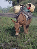 Mule. This mule was being prepared for delivering produce to market Royalty Free Stock Photography