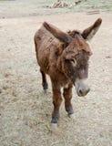 Mule Stock Photo
