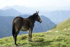 Mule. A brown mule stood on the hillside Stock Image