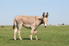 Mule. Standing on a field of grass Stock Photos