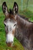 Mule photo libre de droits