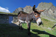 Mule !! royalty free stock images