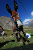 Mule ! ! Photo libre de droits