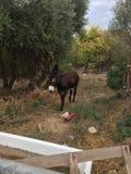 mule Royaltyfria Bilder