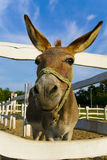 Mule. A funny mule at farm on sunny day Royalty Free Stock Photo