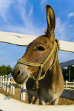 Mule. A funny mule at farm on sunny day Royalty Free Stock Image