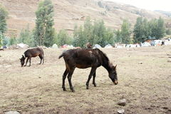 Mule in Ambikwa camp, Simien mountains Stock Image