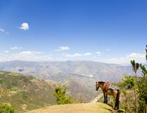 Mule and Andes Stock Photography