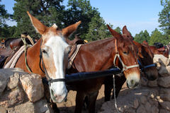 Mule At The Grand Canyon National Park Royalty Free Stock Images