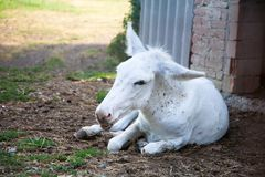 Mule blanche Photo stock