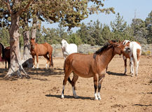 Mule Braying At Herd. A small mule brays at the herd of horses he is with stock image