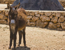 Mule brown Royalty Free Stock Images