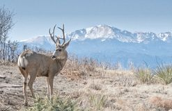 A Mule Buck Deer Looks Back in front of Pikes Peak and Scrub. Scrub brush and Pikes Peak Mountain surround this mule deer buck Royalty Free Stock Image
