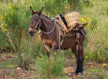 Mule in bushes Royalty Free Stock Photo