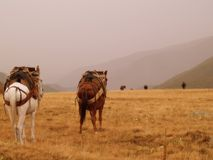 Mule caravan in Greece. On plains with hills in distance royalty free stock image