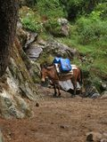 Mule carrying goods in Nepal Stock Images