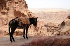Mule in the city of Petra Royalty Free Stock Photo