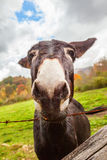 Mule Royalty Free Stock Photos