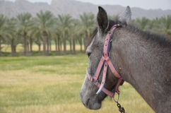 Mule. Closeup of a tethered mule with a palm forest and mountain in background Stock Image