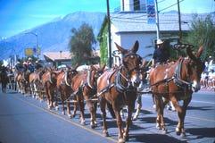 Mule days. Parade in Bishop califorina Royalty Free Stock Images